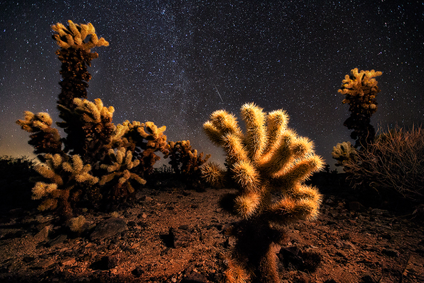 Cholla Cactus Garden in Joshua Tree National Park